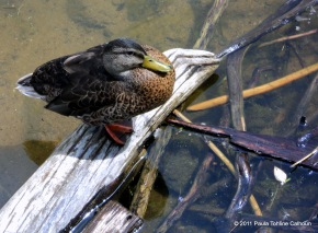 One of my first duck shots.
