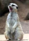 """Obliging meerkat """"It has been a long day. . ."""""""