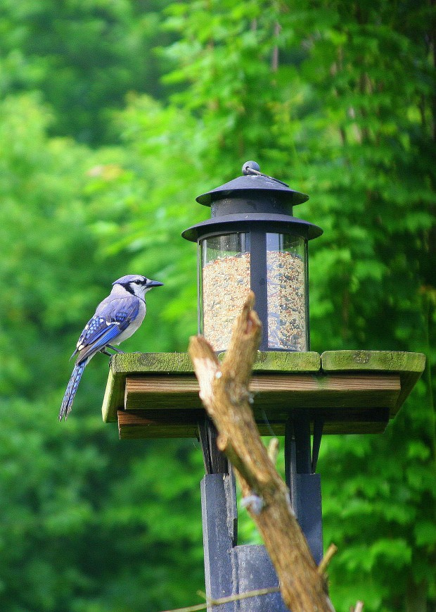 Blue jay having a snack