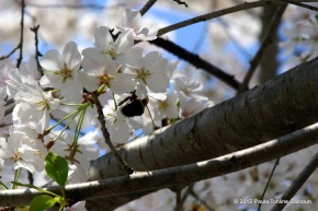 Still another bumble bee, gathering pollen at the same tree.