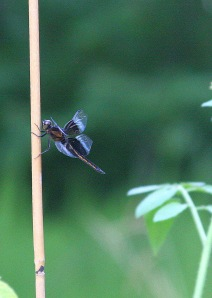 Damselfly, Hillsborough, NC