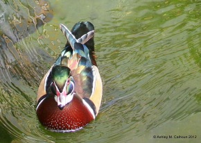 Love struck male wood duck.  the object of his affection had no use for him whatsoever.