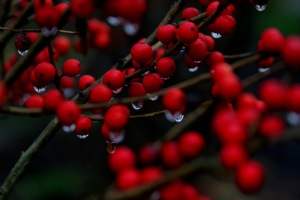 Winterberry Bush