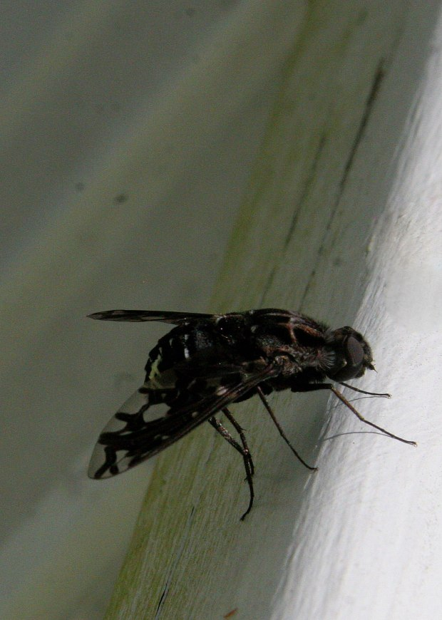 Unknown type of fly - but it's pretty!