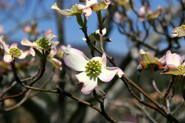 Newly-opened dogwood blossoms shine against the clear blue sky at lake Junaluska.