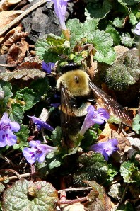 The Bumble Bee is bumbling amid the wild flowers by the ramp to our front porch.