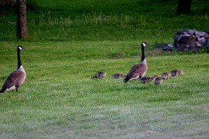 . . .and the pond came with a pair of Canada Geese and their six goslings!