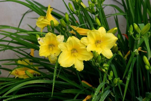 Sunshine Yellow Dayylilies