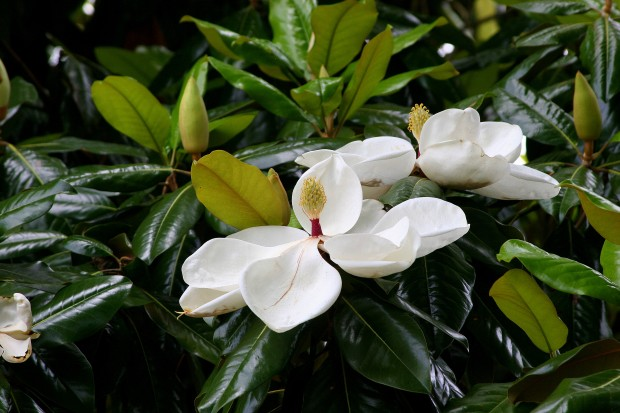 Magnolia Blossoms - How Southern can you get?