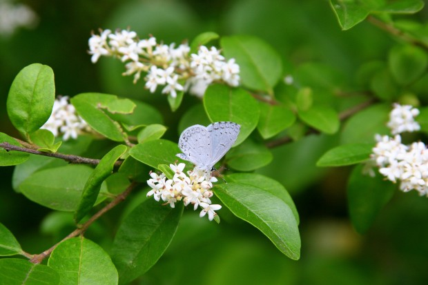 This Eastern Tailed Blue beauty refused to open its wings!