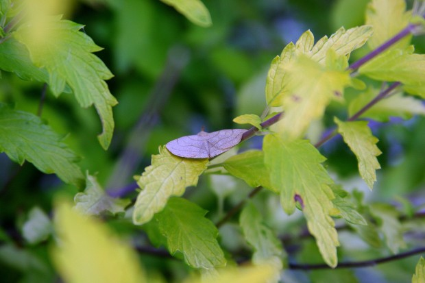 """This moth has been hanging around our yard day and night.  I recently made a possible identification of it a a """"Zanclognatha Cruralis,"""" or an """"Early Fan Foot.""""  He is shaped like a Stealth Bomber!"""